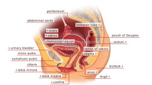Anatomi Alat Reproduksi