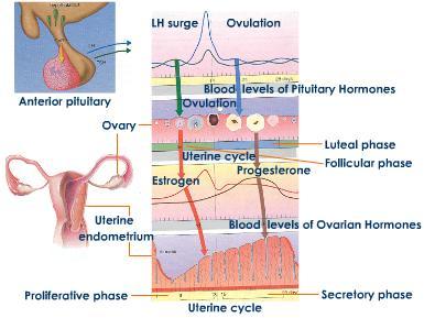 Hormon yang Mengontrol Siklus Haid