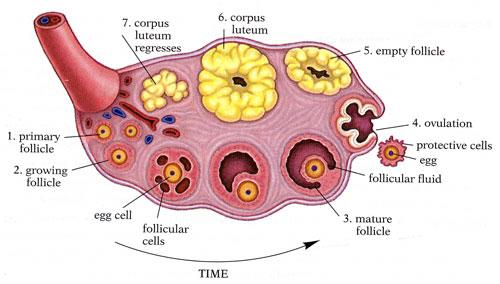 Siklus pada Ovarium